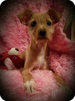 Chihuahua Mix Puppy for adoption in Hamilton, Ontario - Faith