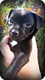 Pug/Chihuahua Mix Puppy for adoption in Tijeras, New Mexico - Spice