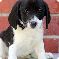 Adopt A Pet :: Gemma - Waldorf, MD