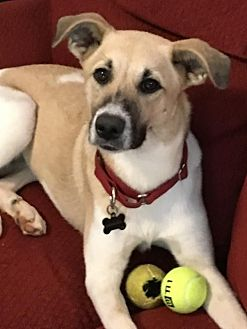 Shepherd (Unknown Type)/Collie Mix Dog for adoption in Glen Burnie, Maryland - Lexi - ON HOLD - NO MORE APPLICATIONS