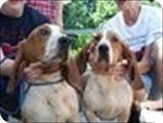 Basset Hound Dog for adoption in Charleston, South Carolina - Jethro