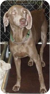 Weimaraner Dog for adoption in Grand Haven, Michigan - Roxy