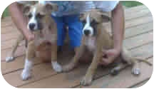 Boxer/American Staffordshire Terrier Mix Puppy for adoption in Proctorville, Ohio, Ohio - Lola & Lily