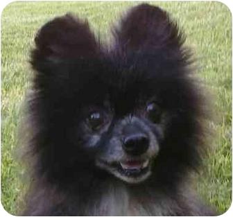Pomeranian Dog for adoption in Gum Spring, Virginia - Miggit