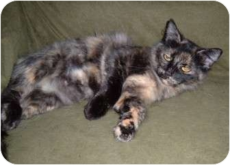 Polydactyl/Hemingway Cat for adoption in Troy, Ohio - Consuela