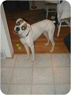 Boxer Puppy for adoption in Waterford, Michigan - Max