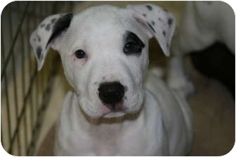 Pointer/Great Dane Mix Puppy for adoption in DFW, Texas - Captain