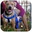 Photo 1 - American Staffordshire Terrier/Hound (Unknown Type) Mix Dog for adoption in Long Beach, New York - Precious
