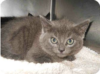 Domestic Shorthair Kitten for adoption in San Clemente, California - BOW TIE