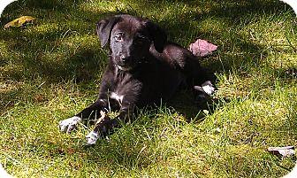 Labrador Retriever/Hound (Unknown Type) Mix Puppy for adoption in Monroe, New Jersey - Tarak