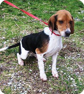 Beagle Mix Dog for adoption in Florence, Indiana - Sudi