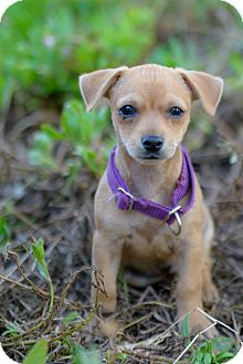Dachshund/Chihuahua Mix Puppy for adoption in El Cajon, California - CHIP