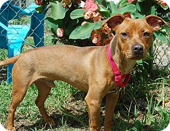 Dachshund/Chihuahua Mix Dog for adoption in Bradenton, Florida - Sparky