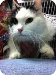 Domestic Longhair Cat for adoption in La Grange Park, Illinois - Captain
