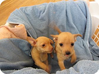 Chihuahua Mix Puppy for adoption in Ridgway, Colorado - Sebastian and Sully