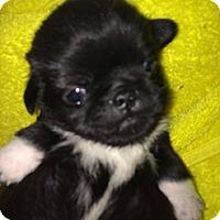 Adopt A Pet :: Puggie - Silver Lake, WI