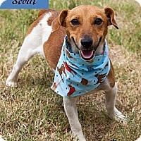 Adopt A Pet :: Scout in Oklahoma - Oklahoma City, OK