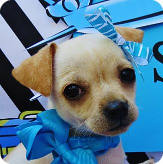 Chihuahua/Pug Mix Puppy for adoption in Irvine, California - Sky