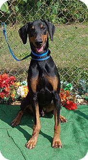 Doberman Pinscher Dog for adoption in Marietta, Georgia - ALPHA (R)