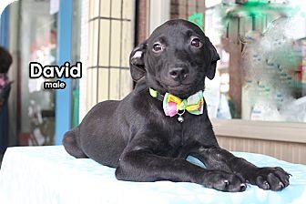 Springer Spaniel/Labrador Retriever Mix Puppy for adoption in Surrey, British Columbia - David