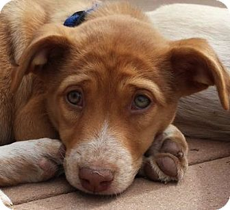 Labrador Retriever Mix Puppy for adoption in Flagstaff, Arizona - Callisto