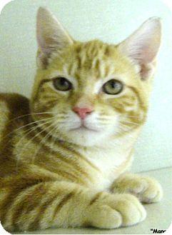 Domestic Shorthair Cat for adoption in Key Largo, Florida - Mango
