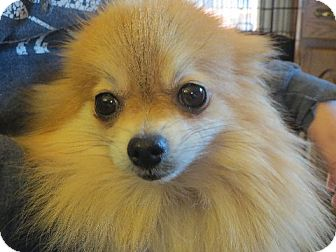 Pomeranian Dog for adoption in Rochester, New York - Dolly Fluff