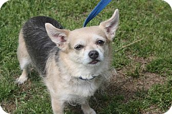 Chihuahua/Terrier (Unknown Type, Small) Mix Dog for adoption in Conway, Arkansas - Tara