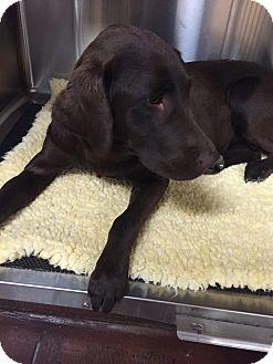 Labrador Retriever Puppy for adoption in Phoenix, Arizona - Myrtle