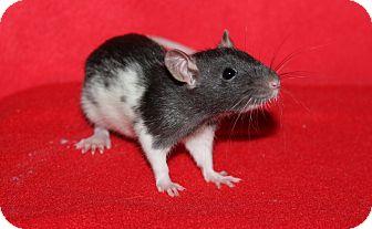 Rat for adoption in Austin, Texas - Zebu