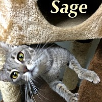 Domestic Shorthair Cat for adoption in Huguenot, New York - Sage