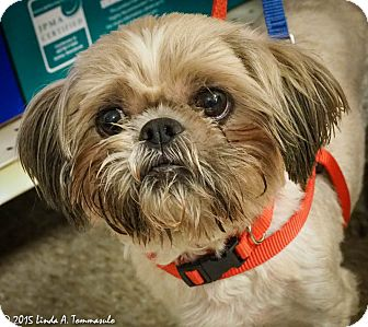 Shih Tzu Mix Dog for adoption in Loudonville, New York - Pierre