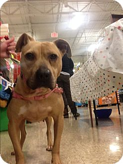 Pit Bull Terrier Mix Dog for adoption in Delaware, Ohio - Supergirl