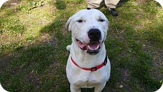 Mastiff Dog for adoption in Dover, Tennessee - HOWITZER