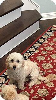 Cockapoo Mix Dog for adoption in Carlsbad, California - Frankie