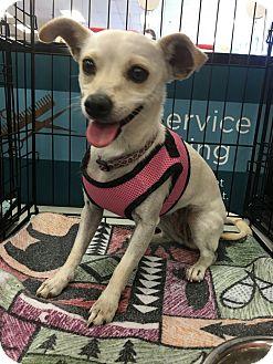 Chihuahua Mix Dog for adoption in Tucson, Arizona - Flower