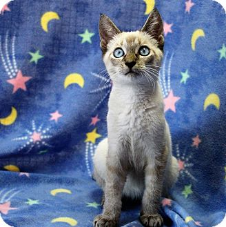 Siamese Kitten for adoption in Greensboro, North Carolina - Sealey