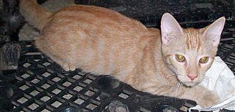 Domestic Shorthair Kitten for adoption in Morriston, Florida - Morris