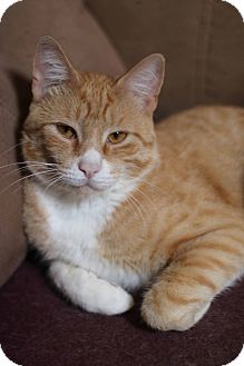 Domestic Shorthair Cat for adoption in New Prague, Minnesota - Remington