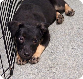 Shepherd (Unknown Type)/Australian Shepherd Mix Puppy for adoption in St. Louis, Missouri - Rachel