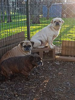 Chihuahua/Pug Mix Dog for adoption in Red Bluff, California - Fiona
