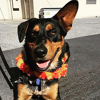 Australian Cattle Dog/Shepherd (Unknown Type) Mix Dog for adoption in Redwood City, California - Cillian