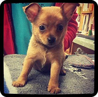 Chihuahua Mix Puppy for adoption in Grand Bay, Alabama - Tootie