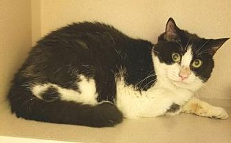 Domestic Shorthair/Domestic Shorthair Mix Cat for adoption in Lakeland, Florida - Tura