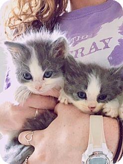 Domestic Mediumhair Kitten for adoption in Palatine, Illinois - Sting and Garfunkel