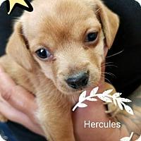 Adopt A Pet :: ! Hercules - Colton, CA