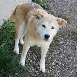 Chow Chow/Labrador Retriever Mix Dog for adoption in Indiana, Pennsylvania - Juno