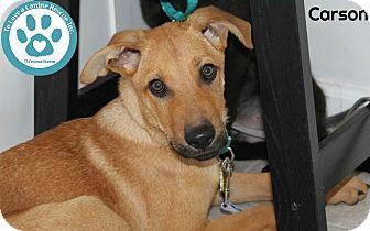German Shepherd Dog/Labrador Retriever Mix Puppy for adoption in Kimberton, Pennsylvania - Carson
