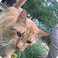 Domestic Shorthair Cat for adoption in White Settlement, Texas - Orange