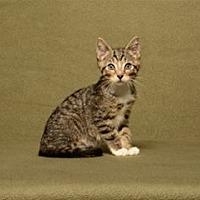 Adopt A Pet :: Gustanado (Kitten) - Cary, NC